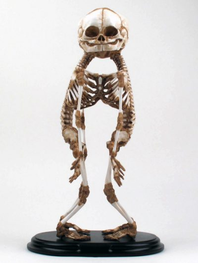 A-Baby Skeleton