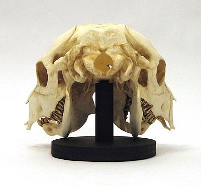 Two Face Calf Skull
